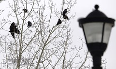 six crows (zawaski -- Thank you for your visits & comments) Tags: alberta beauty canada canmore naturallight noflash music zawaski©2018 rockymountains tomphillips calgary live love ambientlight canonefs55250mmf456isstm