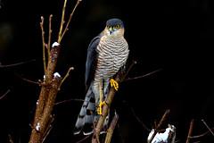 DSC_7680 Épervier d'Europe (sylvettet) Tags: épervier rapace oiseau bird 2019 animal sparrowhawk rapacious accipiternisus