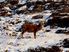 IMG_5300 (monika.carrie) Tags: reddeer monikacarrie wildlife scotland aberdeenshire royaldeeside