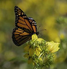 MonarchButterfly_SAF6867-1 (sara97) Tags: danausplexippus butterfly copyright©2018saraannefinke endangered missouri monarch monarchbutterfly nature photobysaraannefinke pollinator saintlouis towergrovepark
