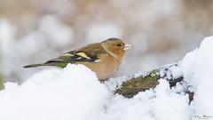 Chaffinch - Vink (Wim Boon Fotografie) Tags: wimboon canon7d canonef400mmf56lusm bird winter winterlicht vink nederland netherlands nature natuur sneeuw snow