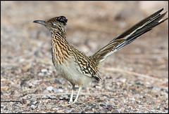 Roadrunner (Ed Sivon) Tags: america canon nature lasvegas wildlife wild western southwest desert clarkcounty vegas flickr bird henderson nevada