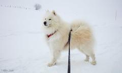 Prêt pour la route (Kilian Sanlis) Tags: samoyede samoyed dog chien animal spitz nordiques nature wild motherwood sauvage neige snow winter hiver doubs franchecomté canon eos 5d tamronsp2470mmf28divcusd