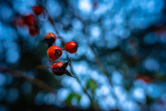 Winter Decorations (NathalieSt) Tags: europe exmes france normandie bassenormandie campagne countryside nature nikon nikond750 nikonpassion nikonphotography normandy orne lensbaby sol45