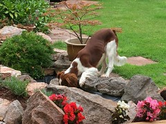 I can reach! (Janey113) Tags: puppy dog welshie springer wss