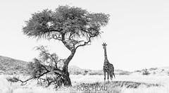 Shady Giraffe (Denis Roschlau Photography) Tags: africa afrika artiodactyla damaraland giraffacamelopardalis giraffe giraffidae kaokoland kaokoveld kapgiraffe kunene namibia natur paarhufer palmwagconcession pecora republicofnamibia republiknamibia stirnwaffenträger säugetiere wiederkäuer african afrikanisch animals baum camelopardalis capegiraffe eventoedungulate front frontal giraffa gras grassland mammal mammals nature ruminantia southafrican southernafrica standing stehend säugetier südlichesafrika tier tree ungulate vonvorne vorderansicht vorne wildanimals wildetiere wildestier wildlife wildtier