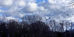 Envol à la moindre alerte (thierrybalint) Tags: arbres ciel nuages envols oiseaux gabian mouettes trees sky clouds birds takeoffs flight seagulls parc park borely marseille balint thierrybalint nikon nikoniste