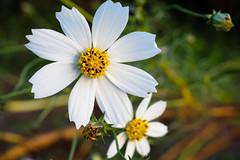 (garthim) Tags: olympus omd em1 japan shizuoka iwata macro mzuiko 30mm flower