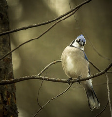 Blue Jay...... (Kevin Povenz Thanks for all the views and comments) Tags: 2015 january kevinpovenz westmichigan michigan outdoors outside ottawa trees ottawacounty ottawacountyparks hemlockcrossing nature bird wildlife sigma150500 canon60d
