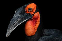 black bird (Wolf Ademeit) Tags: bird black orange zoo wildlife wolfademeit sony sigma