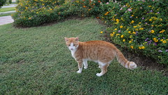 2015-09-20_18-10-37_ILCE-6000_DSC00280 (Miguel Discart (Photos Vrac)) Tags: 2015 24mm animal animalphotography animals animalsupclose animaux cat cats chat chats colakli e1670mmf4zaoss focallength24mm focallengthin35mmformat24mm holiday hotel ilce6000 iso250 kamelya kamelyaworld nature naturephotography pet sony sonyilce6000 sonyilce6000e1670mmf4zaoss summer turkey turquie vacance vacation