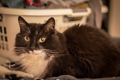 Fluffers (32/365) (lacygentlywaftingcurtains) Tags: 365 cat sepia tuxedo longhaired fluffy furry cute adorable kitty