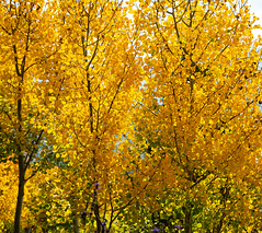 Aspens in Fall (Snap Man) Tags: colorado grandcounty grandlake grandlakelodge aspens byklk fallcolors unitedstates