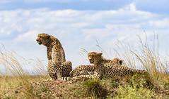 Cheetah (sthefano512) Tags: africa wild wildafrica wildlife nikond810 d810 cheetah bigcat masaimara kanya