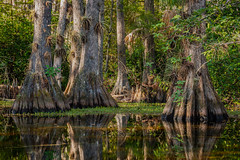 """Ancient Wood"" (Sal Sciarrino) Tags: florida landscapephotography bigcypresspreserve nature naturephotography everglades nikon nikond7100 ngc conservationphotography"