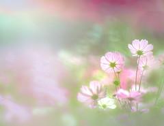 Background of Kochia scoparia (Tomo M) Tags: kochiascoparia cosmos flower plant nature bokeh blur light autumn ひたち海浜公園 soft pastel dreamy