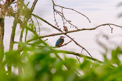 Kingfisher (pasiak75) Tags: 2018 alcedoatthis commonkingfisher dolinabaryczy ptaki kingfisher zimorodek
