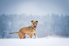 2018-12-13 (annamarias.) Tags: apbt americanpitbullterrier pitbull staffordshire snow winter cold fun dog animal pet mammal