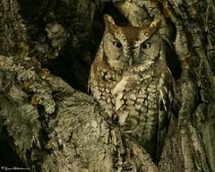 2I1A6154zzz (lfalterbauer) Tags: screechowl canon 7dmarkii nature wildlife ornithology avian raptor prey owl bird outdoor dslr camera digital cornell