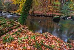 Fall at fingle (snowyturner) Tags: fall autumn dartmoor riverteign leaves trees longexposure roots landscape