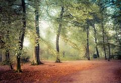Gold rush (Ingeborg Ruyken) Tags: 2018 autumn october woods berlicum fall flickr herfst ochtend morning wamberg tree forest oktober natuurfotografie 500pxs instagram shertogenbosch bos