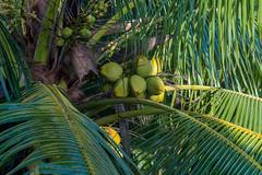 Green Coconuts on a Palm Tree (Merrillie) Tags: palm palmfronds coconuts tree nature coconuttree outdoors green palmtree fruit fiji cocos