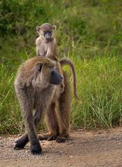 Olive Baboons (Rod Waddington) Tags: africa african afrique afrika animal uganda ugandan olive baboons baby mother wild wildlife