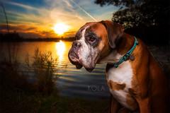 fall sunset (Kerstin Mielke) Tags: boxerdog dogphotography kurt lake sunset