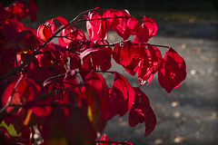 Burning Light (brucetopher) Tags: red leaf leaves fall tree burning bush bushes branches light sunlight shine radiant radiance backlight backlit backlighting through transparent translucent autumn season changeofseason bokeh sparkle street roadside beauty nature natural foliage floral