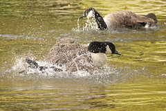 Splash good time (hedgehoggarden1) Tags: spashing bath river canadageese birds sonycybershot geese nature wildlife wildfowl creatures animals sony norfolk thetford eastanglia uk bird action