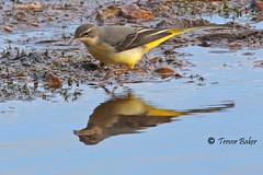 Just lucky (Trevor-Baker) Tags: bird greywagtail
