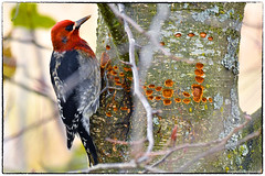 Red breasted sapsucker (EXPLORED, 14_11_18, #7) (RKop) Tags: raphaelkopanphotography washington nikon d500 nisquallynwr wildlife