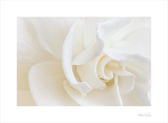 Refinement (Meu - Off for a while) Tags: gardenia flower nature macro soft plant