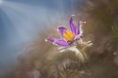 sunny day (SonjaS.) Tags: sunnyday sonnigertag sonjasayer macro küchenschelle pulsatilla licht strahlen sonne sun frühling spring blume blüte lila kuhschelle