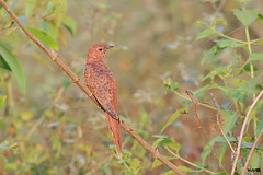 Grey-bellied Cuckoo (Hepatic female) (harshithjv) Tags: bird birding cuckoo grey greybellied greybelliedcuckoo cacomantis passerinus cuculiformes cuculidae aves avian canon 80d tamron bigron g2 600mm