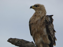 Tawny eagle - Aquila rapax (Linda DV (away)) Tags: aquilarapax tawnyeagle accipitriformes lindadevolder travel africa tanzania 2018 nature victorialake geotagged fauna flora serengeti