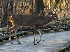 112318182586asmweb (ecwillet) Tags: deer wildwoodparkharrisburgpa nikon nikond500 nikon200500f56 ecwillet ericwillet