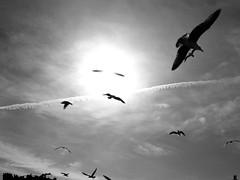 the seagulls in the sun (Antonio Piccialli) Tags: 2018 dicembre gabbiano sole sun controluce backlight canonixus155 campania canon cilento castellabate explore explored fluidr fluidrexplored flickr flickrclickx reflex reflections bn blackwhite bianconero blackandwhite bwartaward bw cielo inverno winter