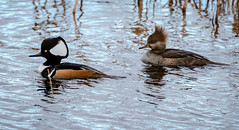 Handsome Couple (tresed47) Tags: 2018 201812dec 20181204bombayhookbirds birds bombayhook canon7dmkii content delaware ducks folder hoodedmerganser merganser peterscamera petersphotos places season takenby us winter