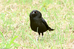 BRONZED COWBIRD (stewartbentley46) Tags: bronzedcowbird costarica cowbird limon puertoviejodetalamanca