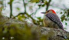 Red-Bellied Woodpecker (Davidpaez27) Tags: redbelliedwoodpecker woodpecker bird birds animal animals pajaro pajarocarpintero northmiamibeach