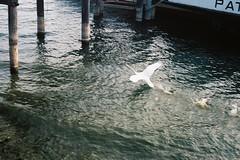 La grande fuga... (sirio174 (anche su Lomography)) Tags: fuga escape run fly cigno swan lago lake como italia italy birds uccelli minoxgts kodakultramax400