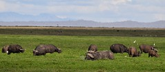 African Buffalo (Everyday Glory!!!) Tags: amboseli amboselinationalpark africa kenya safari africanbuffalo buffalo capebuffalo