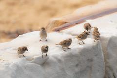 Sparrows at the Beach (Merrillie) Tags: sand nature australia birds sparrow newsouthwales uminabeach sevenofakind beach wildlife seven umina coastal outdoors animals fauna centralcoast housesparrow wild