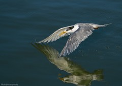 Crested Tern (Mykel46) Tags: crested tern bif birds nature wildlife sony a9 100400mm 14xtele flight fish fishing fast water outside outdoor splash drops