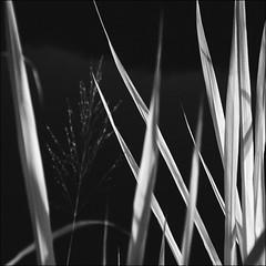 F_DSC4671-BW-1-Nikon D90-Nikkor 24-120mm-May Lee 廖藹淳 (May-margy) Tags: maymargy bw 黑白 紅外線攝影 冬日暖陽 外雙溪畔 野草 線條 台灣攝影師 台北市 台灣 中華民國 fdsc4671bw1 irphotography 葉子 leaves weeds linesformandlightandshadow 線條造型與光影 taiwanphotographer nikond90 nikkor24120mm maylee廖藹淳