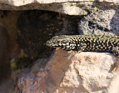 Lizard warming (ORIONSM) Tags: european lizard warming reptile nature macro up close croatia arena pula panasonic tz100 lumix