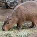 Capybara Eating Hay