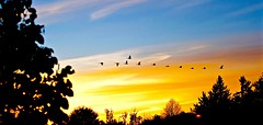 CANADIAN SKIES..., ACA PHOTO (alexanderrmarkovic) Tags: canadageese sky scarborough thebluffs blufferspark lakeontario acaphoto