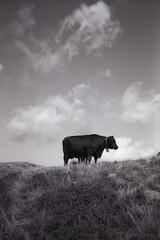 Mucca dell'Alpe Scaredi (Silvia Kuro) Tags: cow cows mucca mucche alpe alpeggio nature natura mountain mountains montagna fine art photography film 35mm ilford delta100 bw bianco nero black white analog analogico